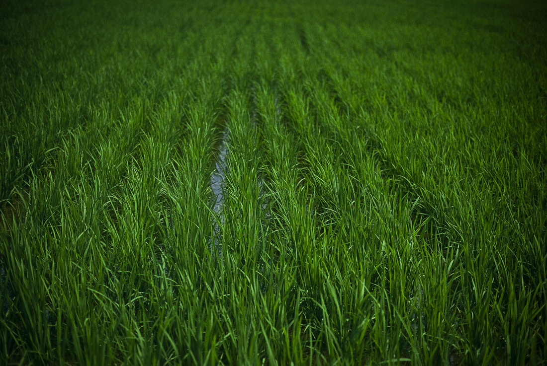 Photograph rice field by Nobuo Furuhashi on 500px