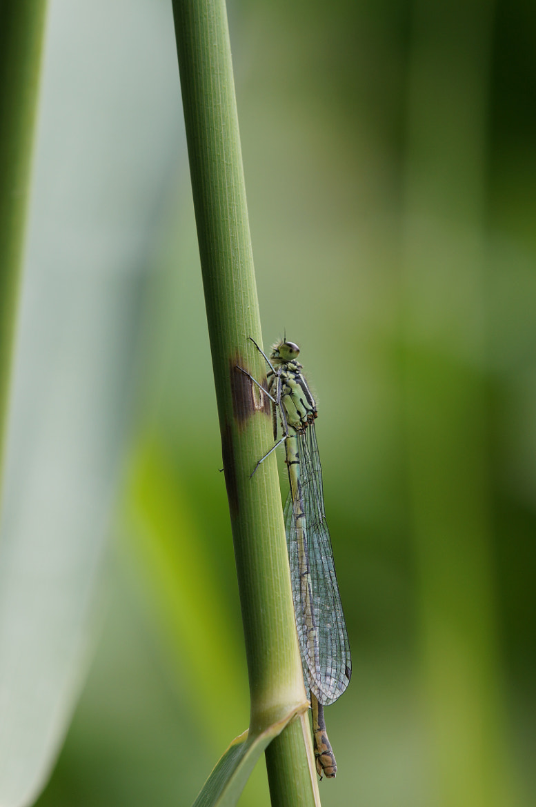 Photograph Dragonfly by Jos van Emst on 500px