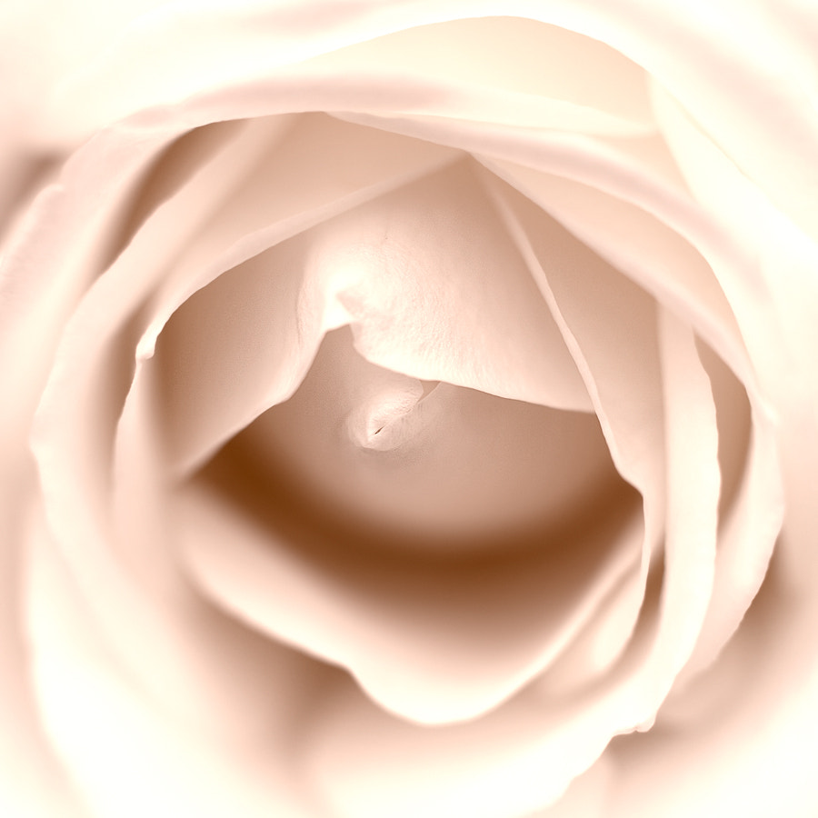 Photograph Rose by Richard Willis on 500px