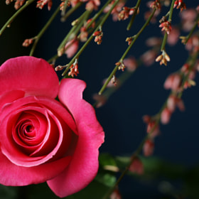 Passionate Embrace ~ Pink Rose by Julia Adamson (AumKleem)) on 500px.com