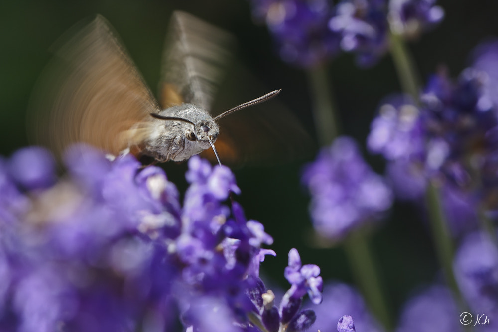Photograph Macroglossum stellatarum by Johan CHABBERT (JCh) on 500px