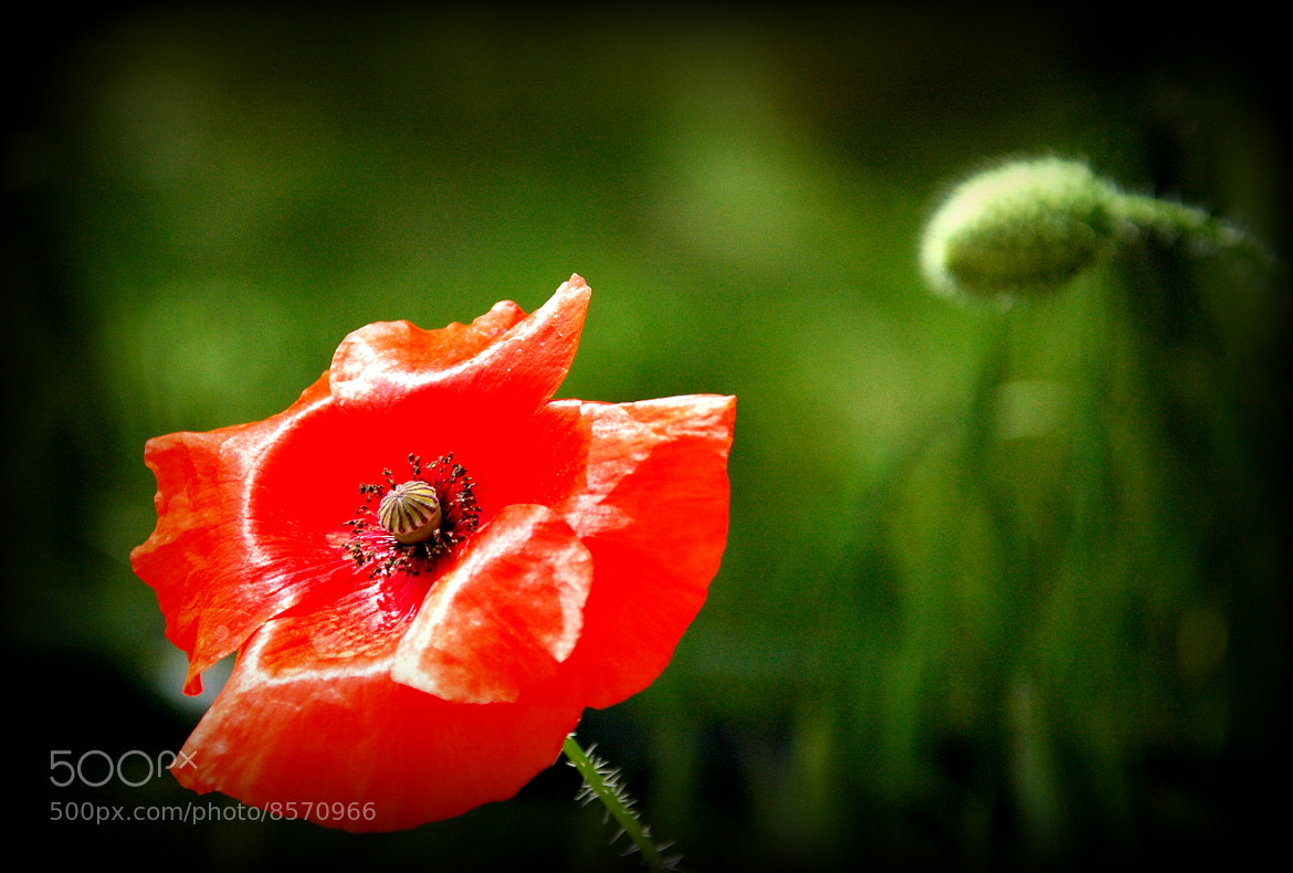 Photograph extra red poppy by Sushila C. on 500px