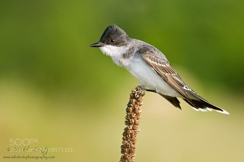 Photograph Eastern Kingbird by Mike  Lentz on 500px