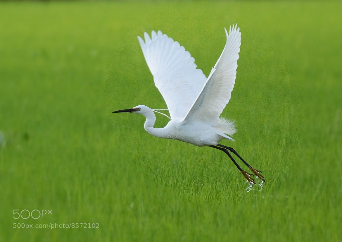 Photograph Heron in flight by Roby Villa on 500px