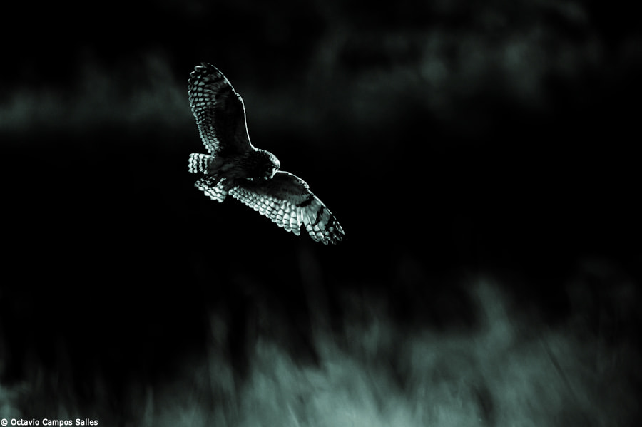 Photograph Night hunter by Octavio Campos Salles on 500px