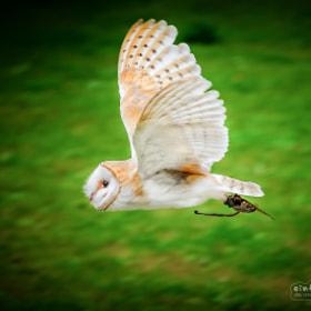Barn Owl | Schleiereule