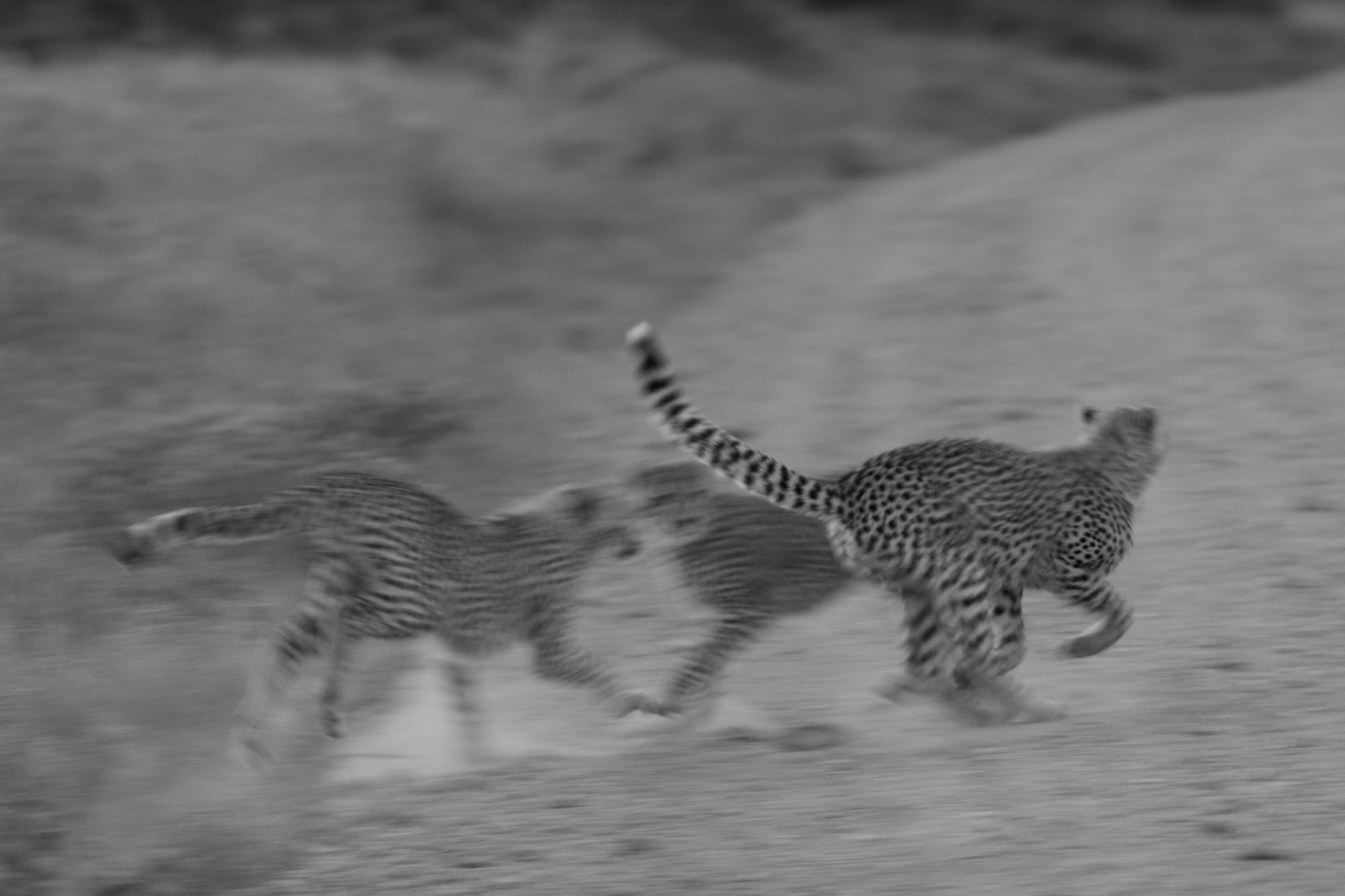 Photograph Cheetah Cubs Playing by Seb Loram on 500px