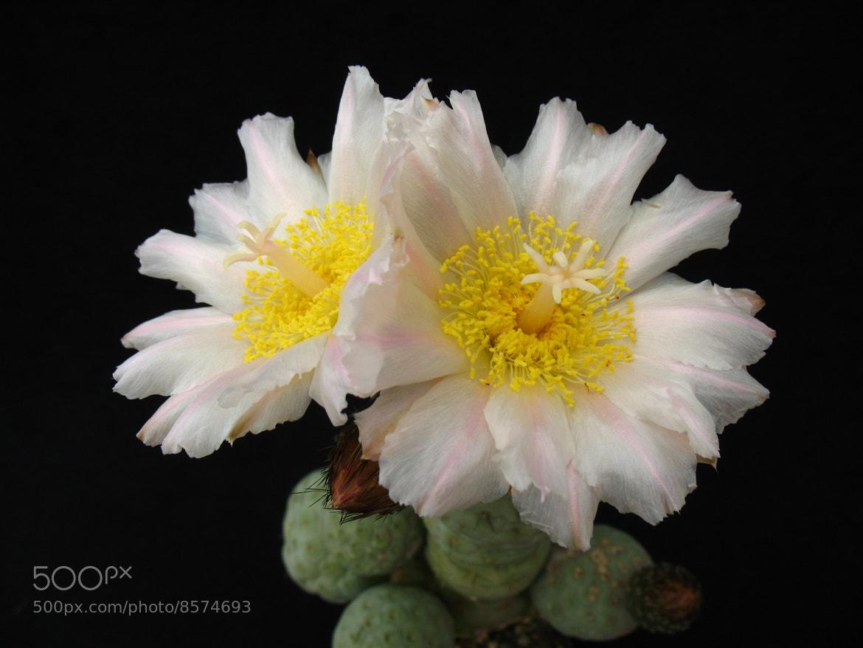 Photograph Tephrocactus geometricus by ali kangal on 500px