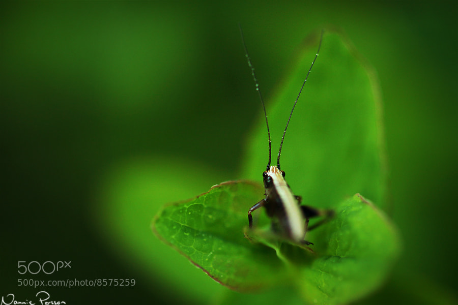 Photograph Dark Bush-cricket Nymph by Nannie Persson on 500px