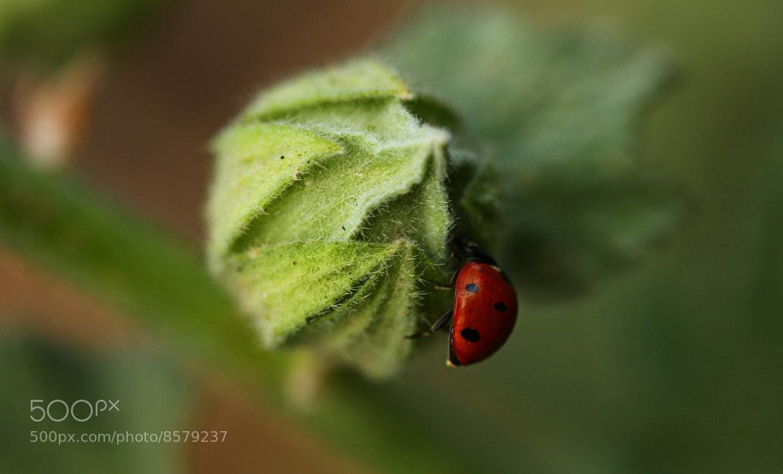 Photograph Ladybug by Johnny Gomez on 500px