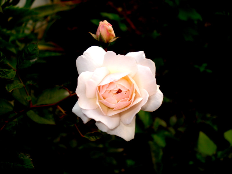 Photograph pinkish white rose by naveen sharma on 500px
