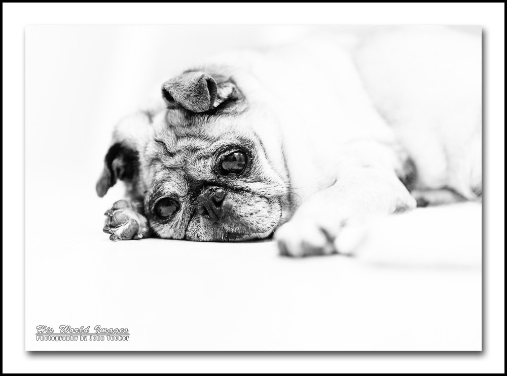 Photograph Geriatric Pug by John Tucker on 500px