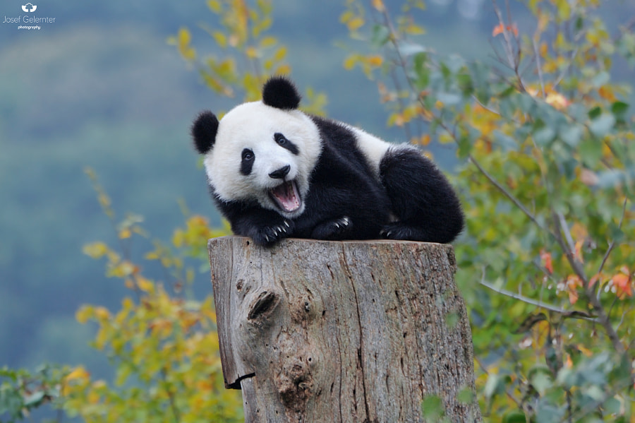 Photograph One Happy Panda by Josef Gelernter on 500px