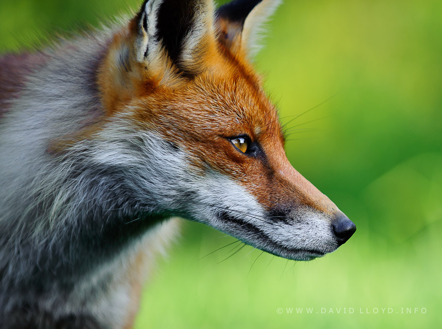 Photograph Red Fox by David Lloyd on 500px