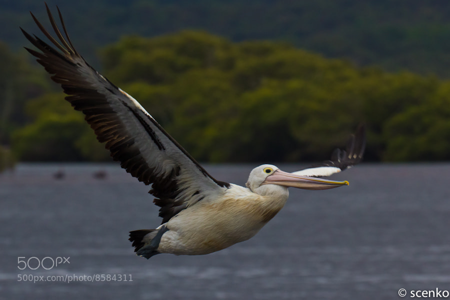 Photograph Australian Pelican by © Scenko on 500px