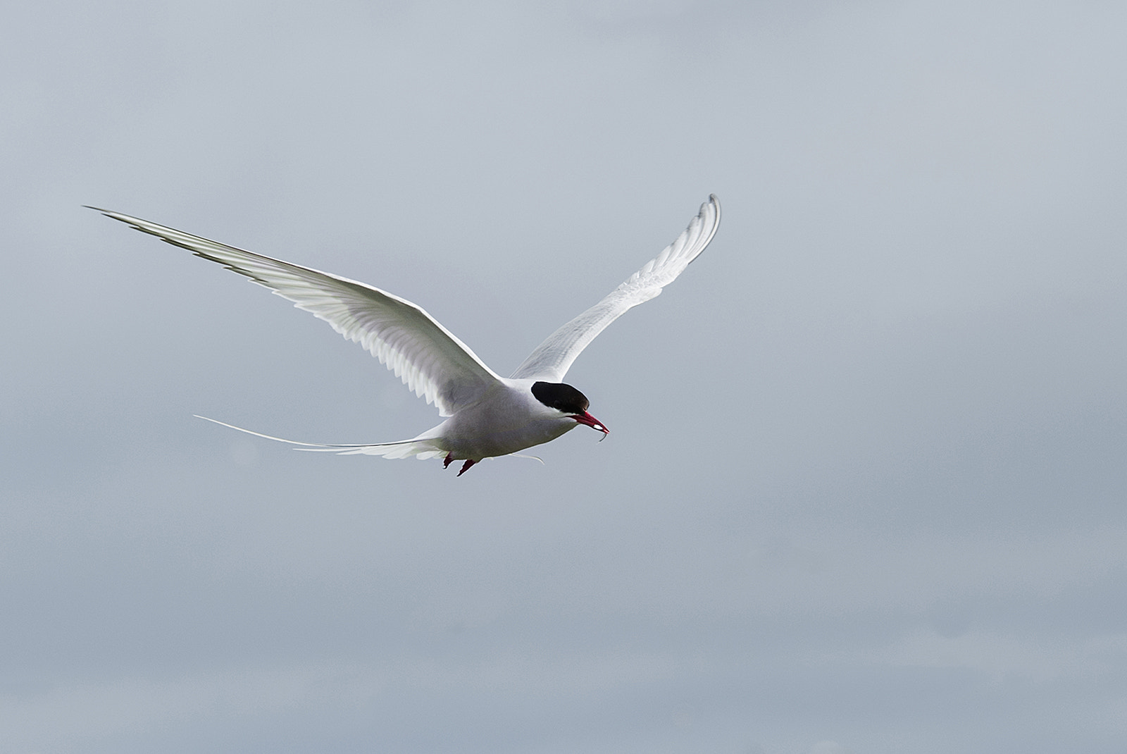Photograph Arctic Tern by Andrew Chu on 500px