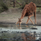 Постер, плакат: Giraffe has a drink