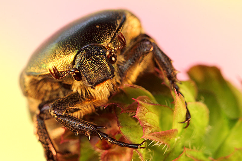 Photograph Gold-Bug by Paulo Torck on 500px