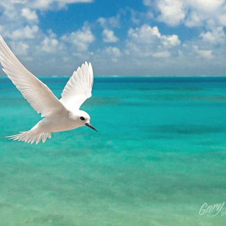 White Tern at Midway Atoll