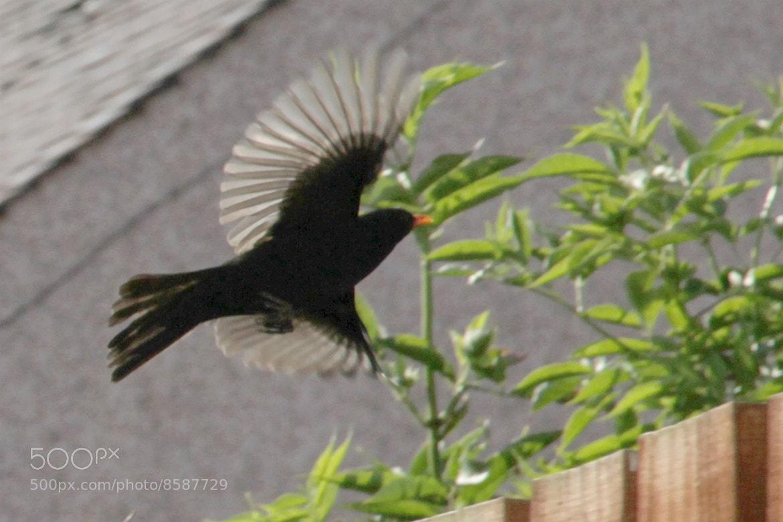 Photograph Bye, bye blackbird by Amanda Robertson on 500px