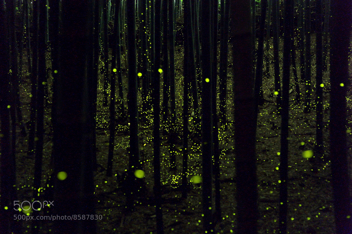 Photograph Dance in Bamboo Grove(Golden Firefly) by yume . on 500px
