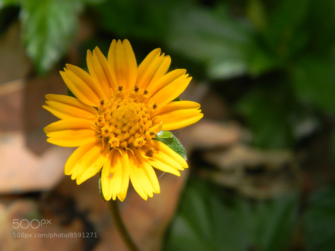 Photograph Mini Sun Flower by Bhavin Bhatia on 500px