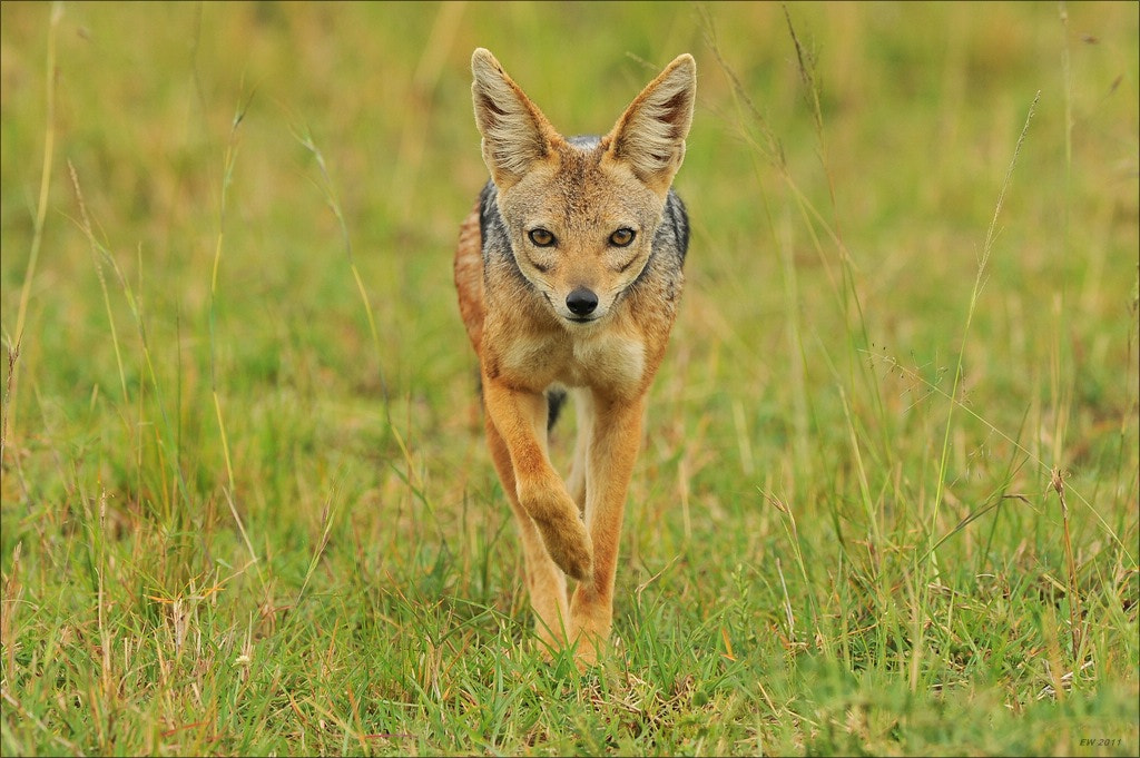 Photograph Jackal by Elmar Weiss on 500px