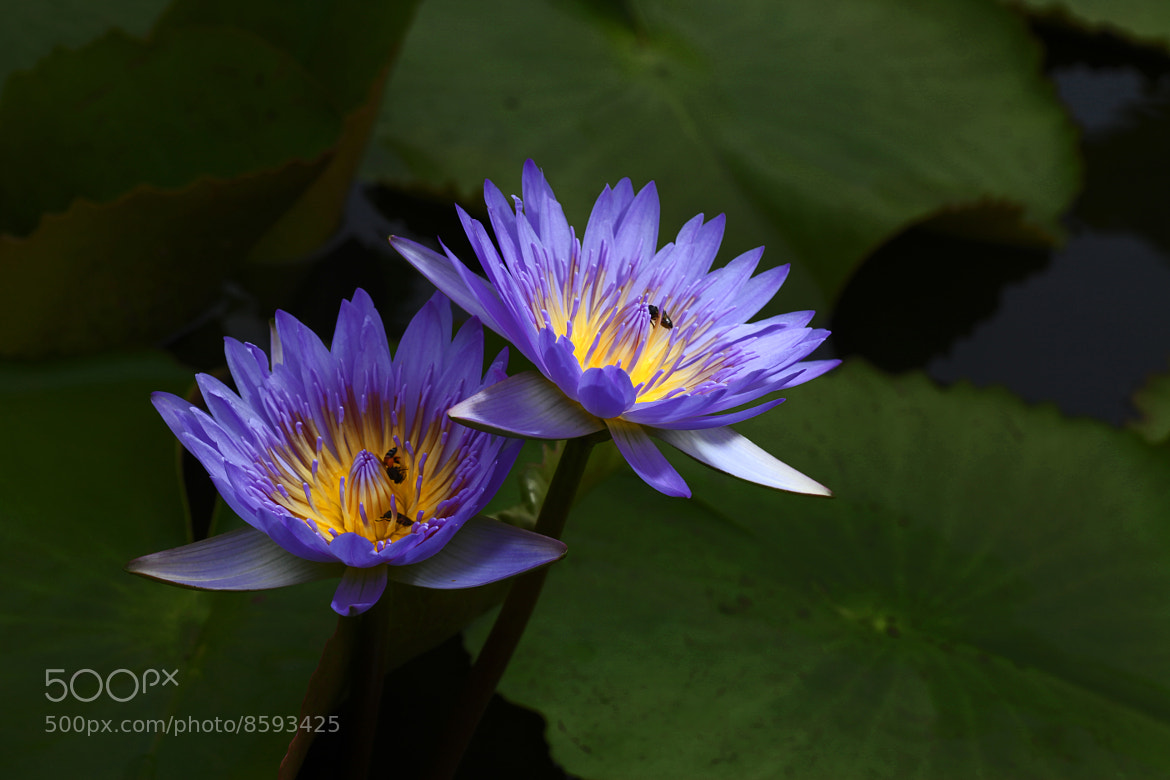 Photograph violet water lily by DEW SP on 500px
