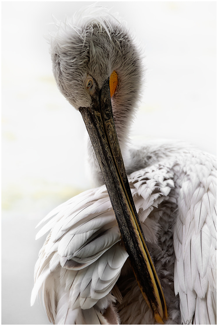 Photograph  Pelecanus II by Thomas Juel on 500px