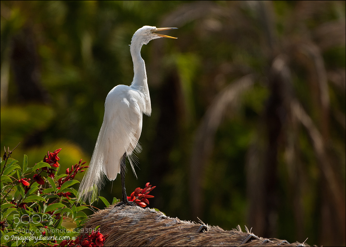 Photograph Great Egret by Laurie Rubin on 500px