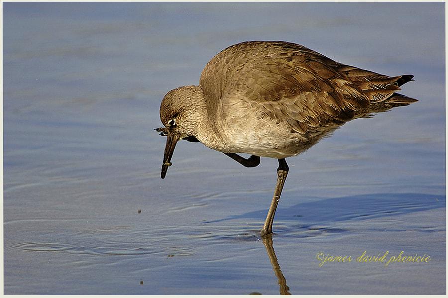 Shore Birds:  Willet