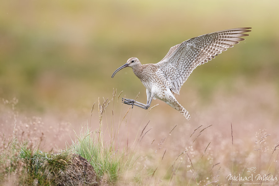 Whimbrel : Iceland by Michael Milicia on 500px.com