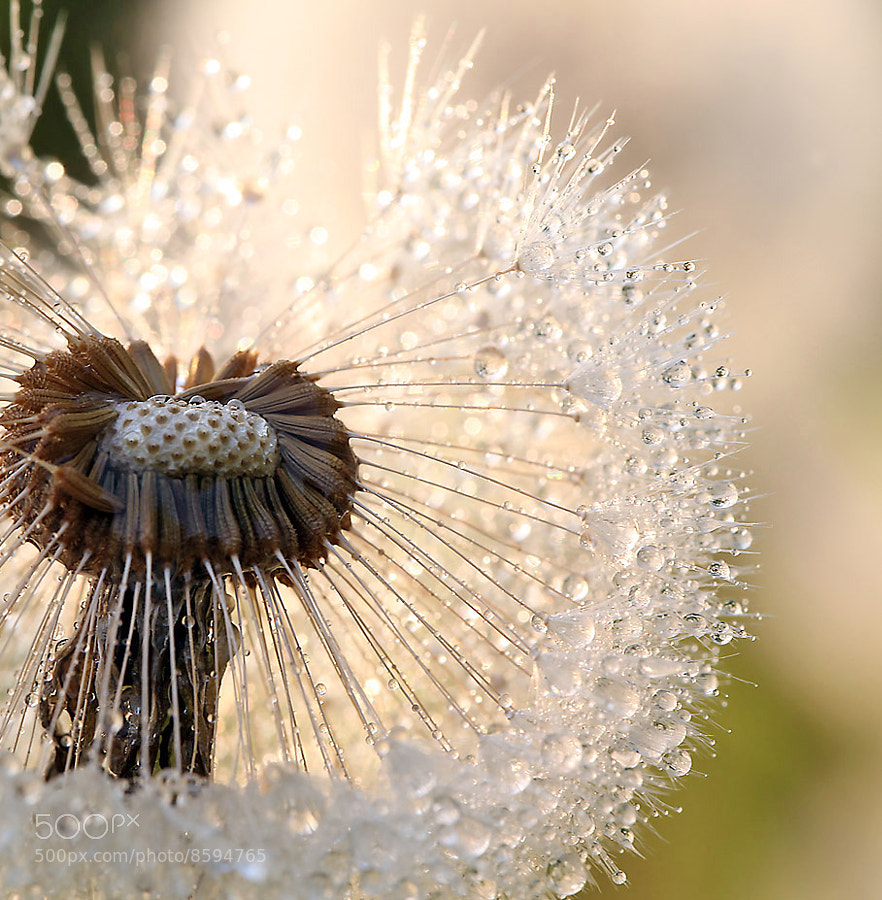 Photograph Sparkled Dandelion by Marinus Keyzer de on 500px