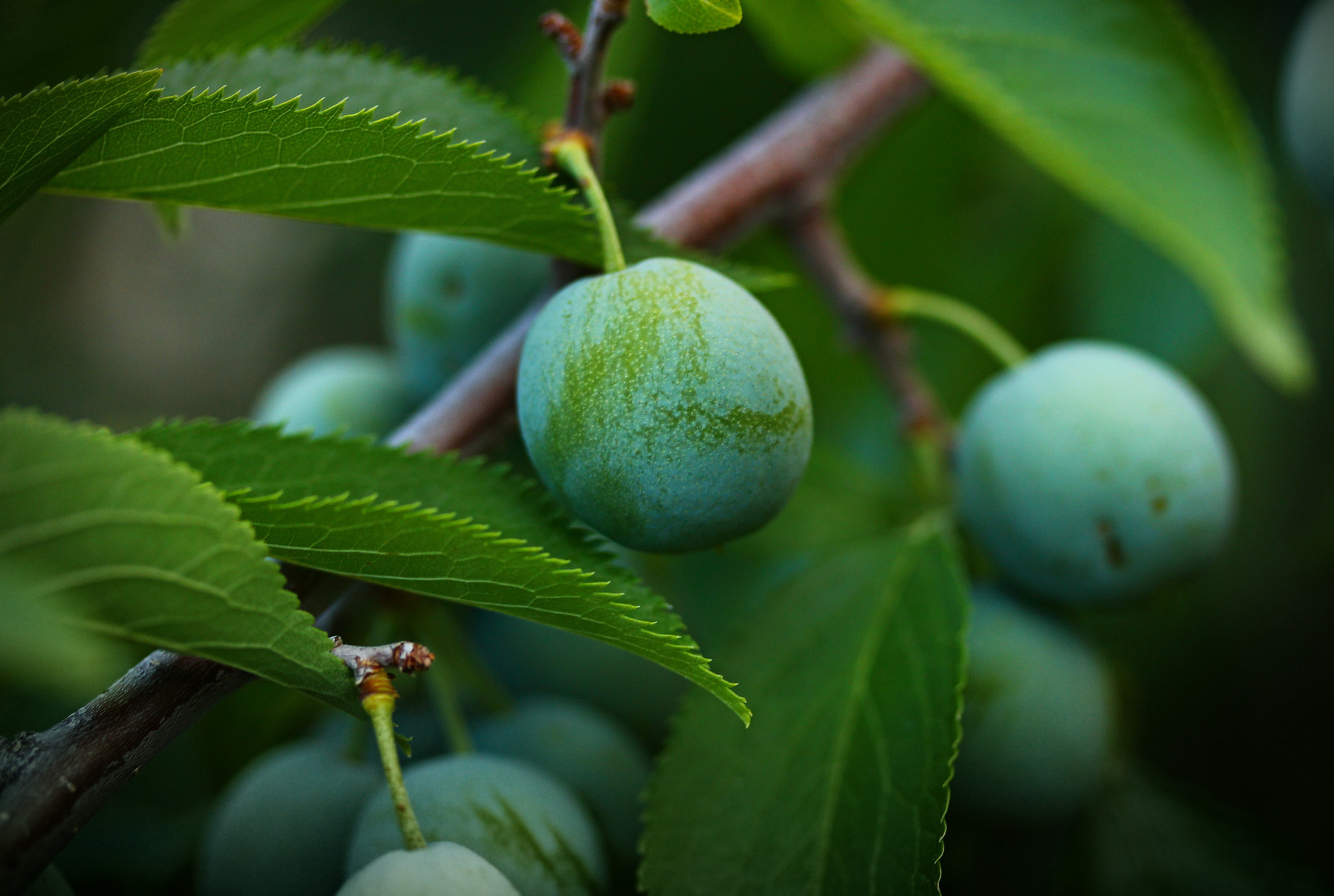 Photograph green plums by Johnny Gomez on 500px