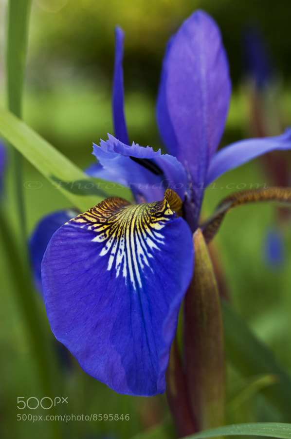 Photograph Mini Iris by Emily Gunther on 500px
