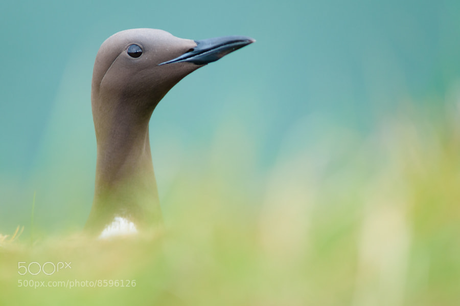 Photograph Guillemot by Sidney Bovy on 500px