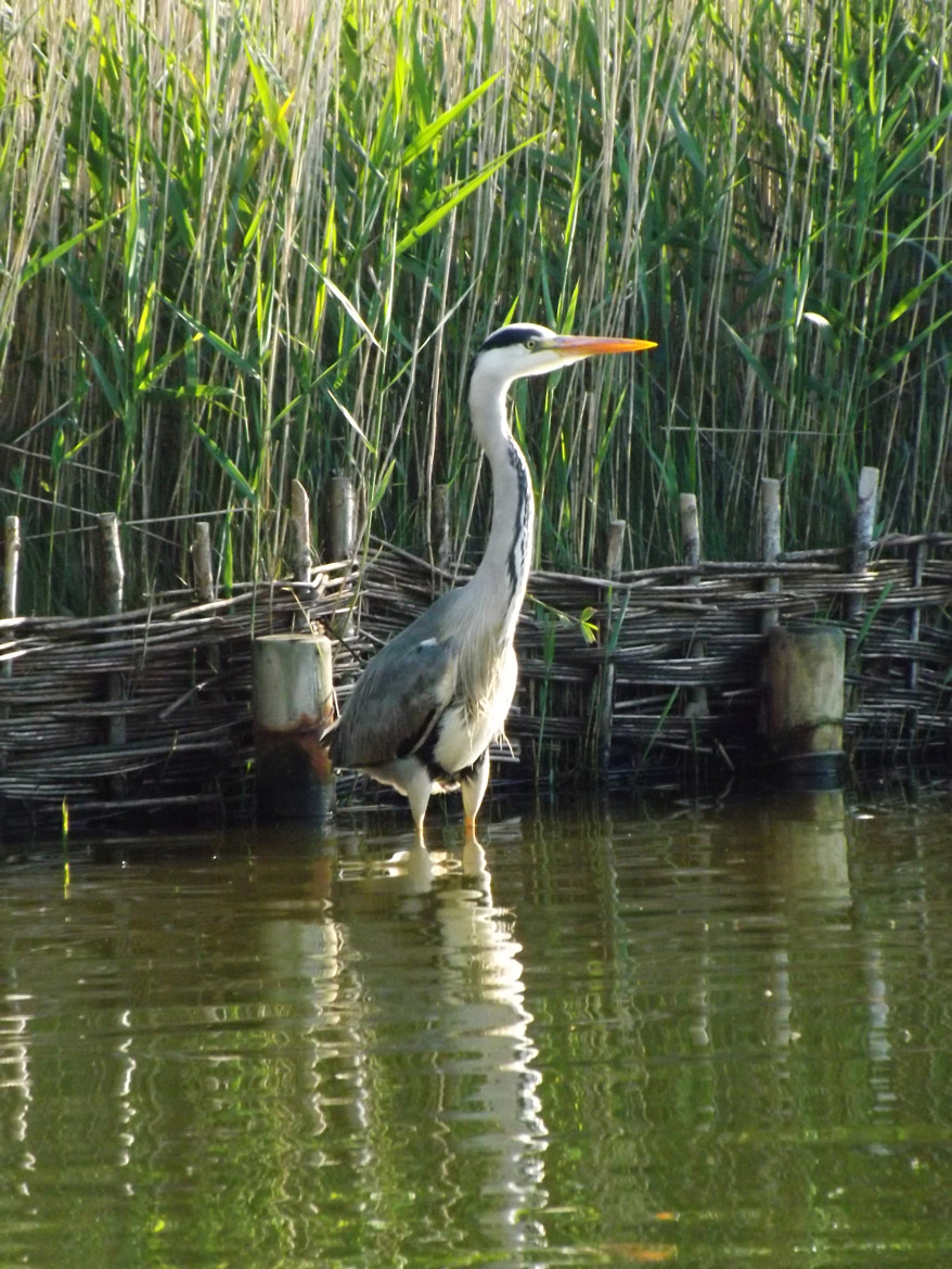Photograph Heron by Max Rigden on 500px
