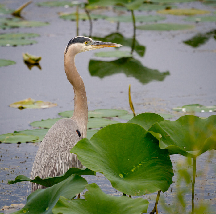 Photograph Great Blue Heron in Lilly Pond by Randy Oleson on 500px