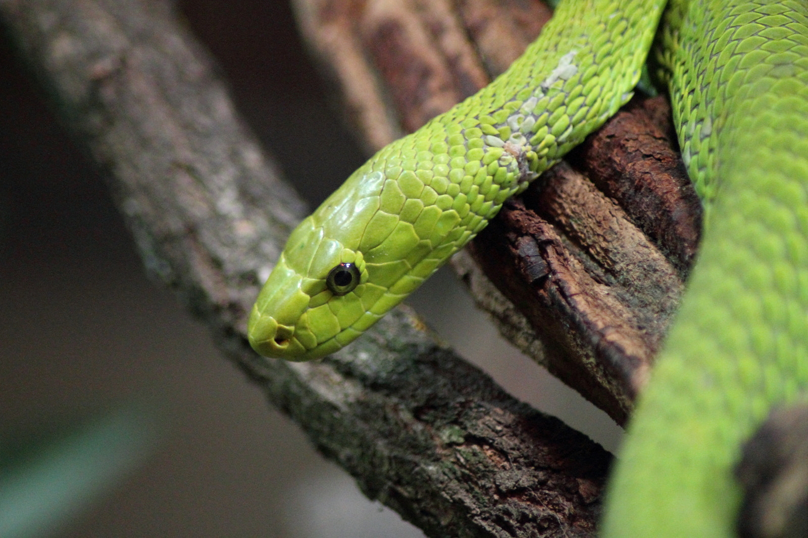Photograph Green Mamba by Philipp K on 500px