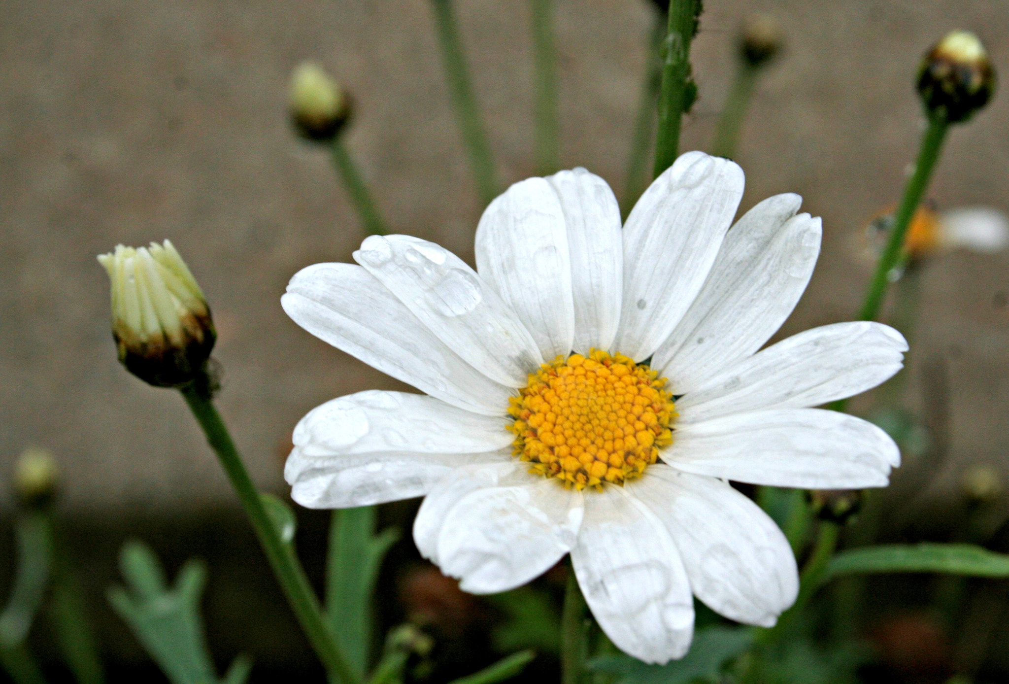 Photograph Daisy by Elle May on 500px