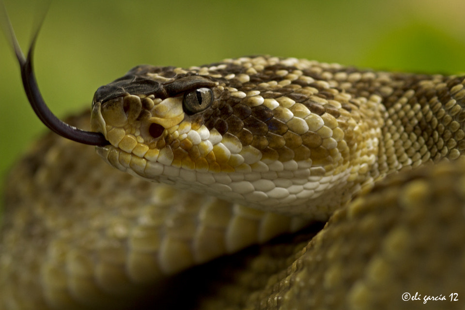 Photograph Crotalus molossus oaxacus by Elí García on 500px