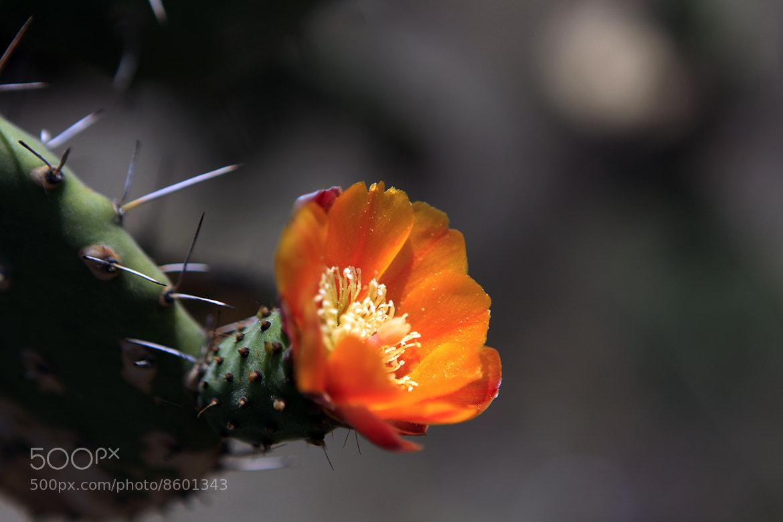 Photograph Cactus flower by Cristobal Garciaferro Rubio on 500px