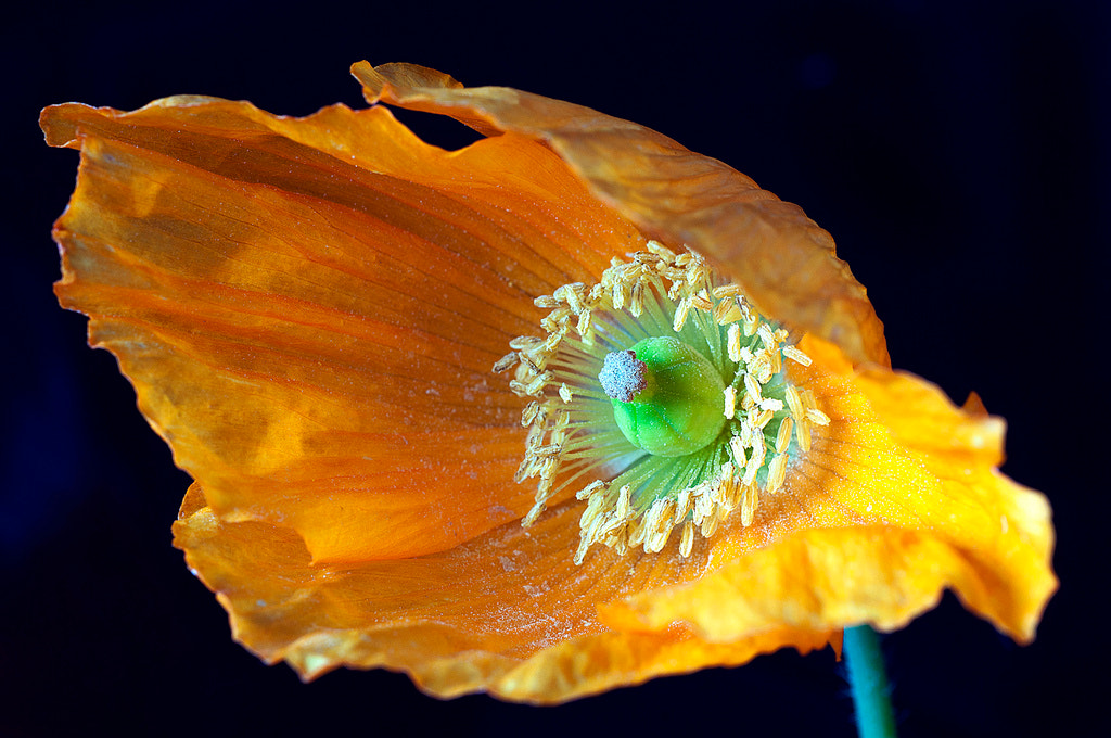 Photograph Diagon alley poppy by Ian Clark on 500px
