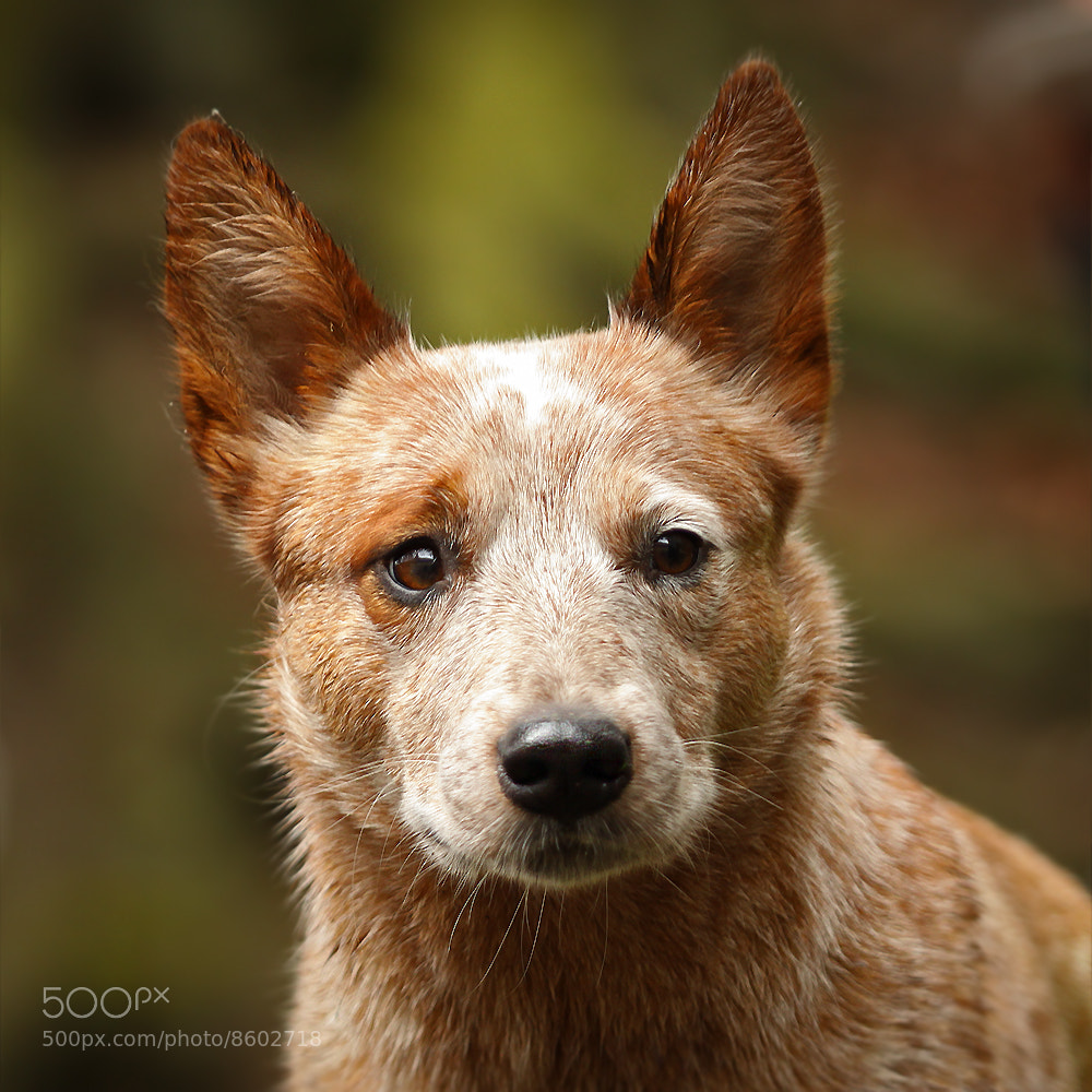 Photograph cattle dog by Mathias Ahrens on 500px