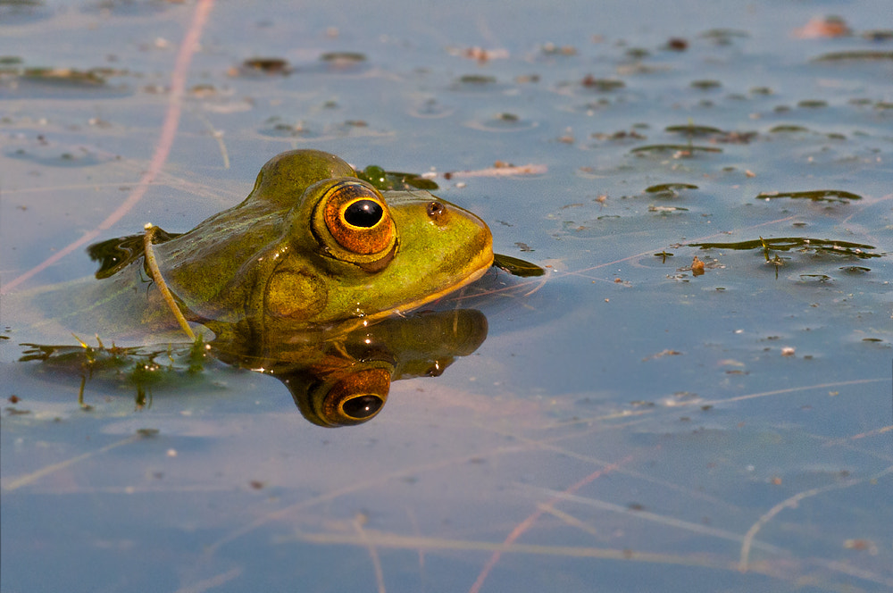 Photograph Green Frog by Rob Janné on 500px