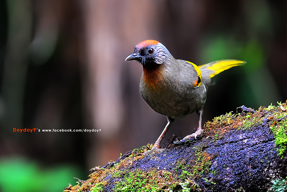 Photograph Chestnut-crowned Laughingthrush by Doy Pdamobiz on 500px