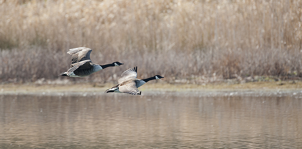 Photograph Canada Geese in Flight by Andrew Chu on 500px