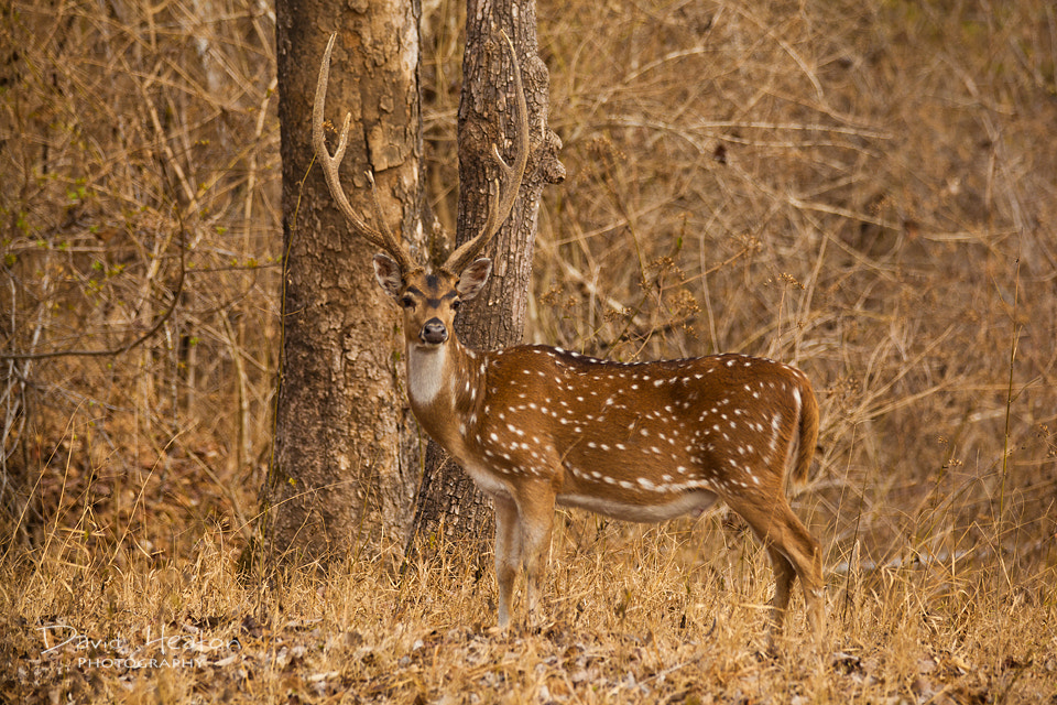 Photograph Chital Deer by David Heaton on 500px