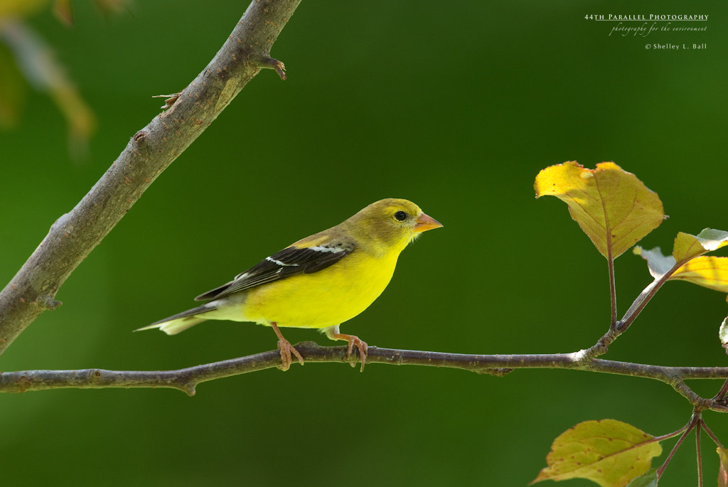 Photograph Female American Goldfinch by Shelley Ball on 500px