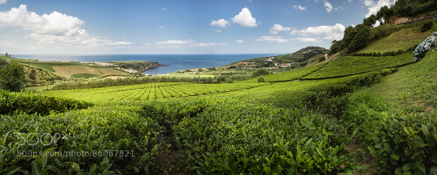 Europes only tea plantation